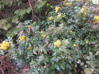les mahonias sont éclatants sous le soleil...&#x3B;
