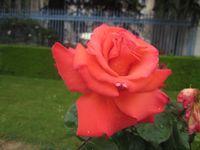 Des roses.... encore des roses !!!