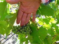 Savennières, Domaine de la Roche aux Moines, Mains de Tessa Laroche, Sol, plant et grappe, Cl. Elisabeth Poulain S