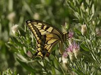 Papillons du Gobi... Argus, type gazé, machaon...