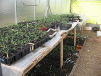 Lundi, encore dans les godets, mercredi apparition des premières tomates, samedi une magnifique cueillette !