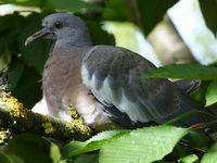 Un pigeonneau, absence de taches blanches sur le cou, bec couleur grisâtre.
