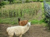 Dans la sierra avec les lamas....8/12 juin 2016