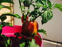 Le plant de poivron, essai 2016