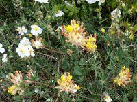 Végétation basse et adaptée aux conditions sèches (buis, anthylides, genêt rampant, lotier corniculé, euphorbe petit-cyprès, globulaires, hélianthème des Alpes)