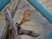 abricotier, citronnier, figuier, noisetier et les jeunes bourgeons du chasselas