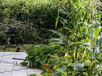 Quand des parisiens s'amusent au jardin, ça donne ceci : un joyeux mélange de capucines, de rosiers, de maïs, de pommes de terre et d'aubergines , plus quelques mauvaises herbes qui s'incrustent...