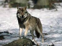 Les animaux sauvages en Finlande -Wild animals in Finland..