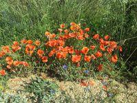 Flores del Camino