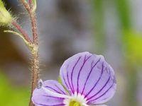 Fleurs de V. chamaedrys, montana, persica, officinalis, filiformis