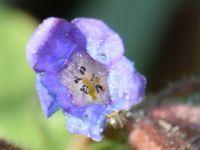 Rose, mauve puis bleue : les trois âges de la vie chez la pulmonaire