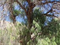 Le Molle, l'arbre qui donne les délicieuses baies roses