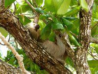 Dans l'ordre, singe hurleur, paresseux et blue morpho