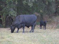 Cette balade, nous a donné l'occasion de nous questionner sur les vaches! Combien temps ont-elles du lait après avoir eu un petit veau???? Question existentielle!!!! &#x3B;-)  En tout cas j'étais contente de voir des vaches!!! :)