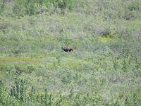A moose (un élan)
