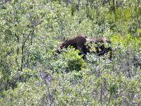 Un élan (a moose)