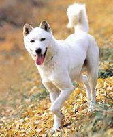 Trois chiens de Corée