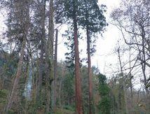 Séquoia de la route du Pertuiset (La Rive)