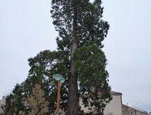 Séquoia d'Usson