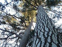 Pins du Parc de l'Europe (et autres arbres)