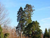 Séquoias de Quinzérieux
