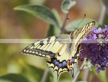 Le machaon de l'été