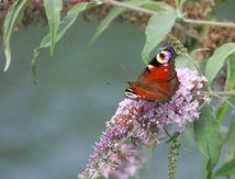 Papillon du jour.. Toujours, toujours...