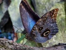 """""""Papillon Hibou"""""""