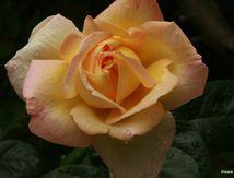Une rose pour Sandra... souvenir, souvenir !