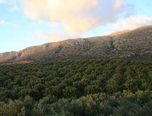Travail saisonnier dans les olives