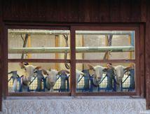 Ancelle, aller visiter une ferme pour assister à la traite des chèvres et goûter du vrai lait
