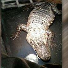 Un américain vivait avec un alligator dans sa cave depuis 26 ans