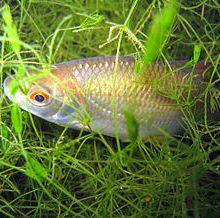 Les poissons d'eau douce (deuxième partie)