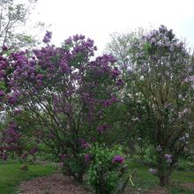 Lilac time in Jardin Botanique of Nancy