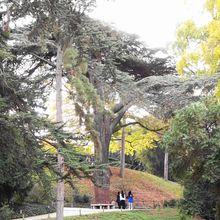 Cèdre du Liban Jardin des plantes Paris AA