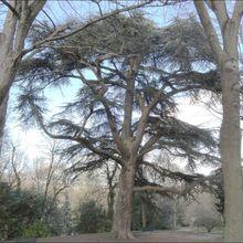 Cèdre du Liban , Parc Meissonier , Poissy ( Yvelines 78 ) AA