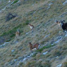 Rochers de Chalves : rencontre avec  les mouflons.