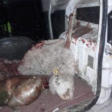 Lambruisse : Une attaque de loup sur les hauteurs de la commune