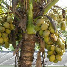 Un cocotier et des noix de coco de la commune de Kintambo #1/3