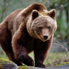 Un Ours : Oui ! ... mais pas un sauvage pour autant.