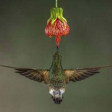 Prix du public, Nature, « Colibri flavescent »