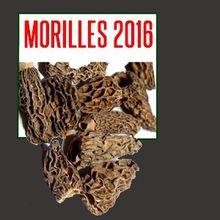 2016 : la grande année MORILLES - cueillette et culture de la morille