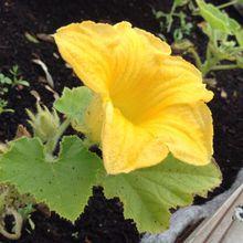 Le jardin de l'automne se prépare dès l'été ! On installe les citrouilles d'halloween !