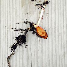Planter des noyaux de fruits pour les faire germer (début de l'histoire de notre premier noyau d'abricot)