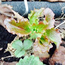 Les graines qui se ressèment toutes seules...vive la vie végétative !