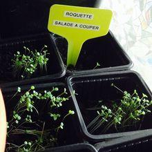 Les semis de salade de mars 2017, avec les enfants