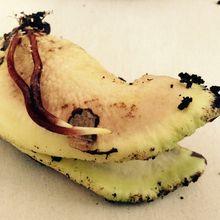 Semis de mangue, deuxième essai 2017