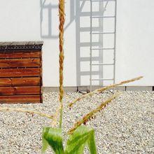 Premier essai de maïs décoratif, dans le jardin urbain