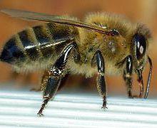Les Animaux & les Insectes commencant par la lettre A