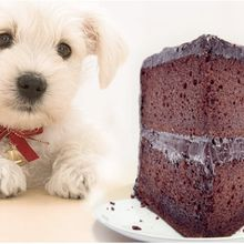 How much chocolate can a dog eat?